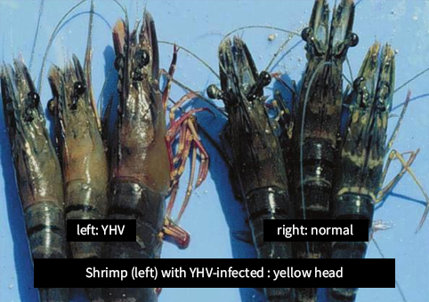 shrimp,YHV,virus